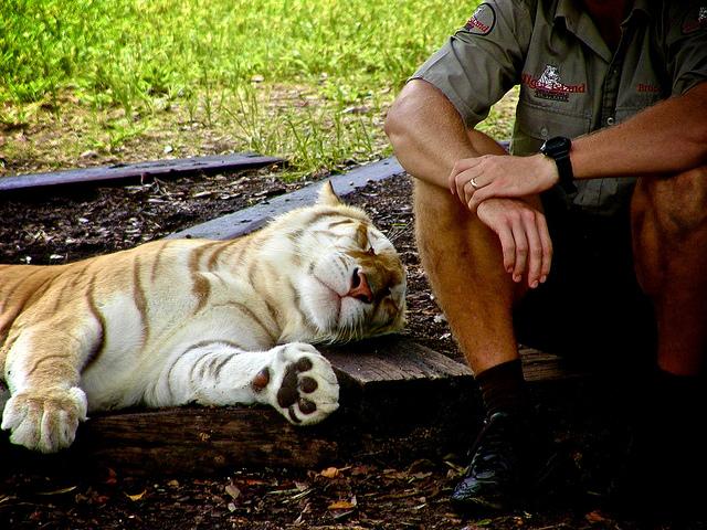 Tiger at Dreamworld, Gold Coast, Queensland