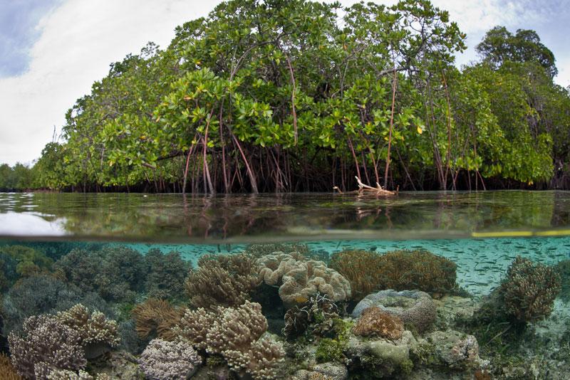 Mangrove swamps, New Caledonia.