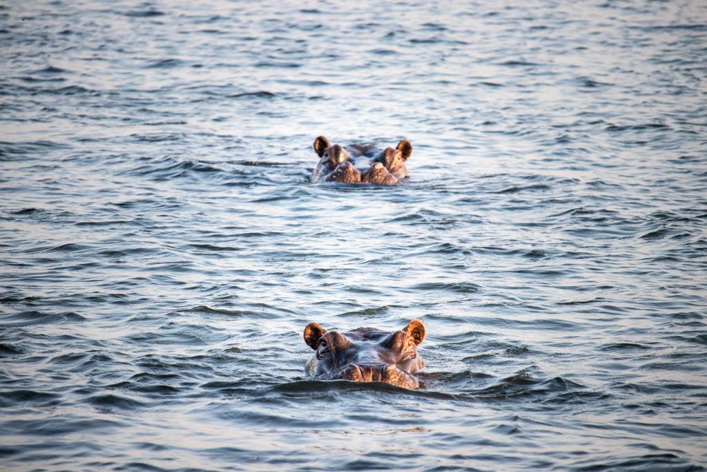 Hippos on the Zambezi
